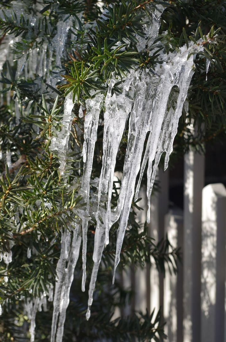 Yew (taxus) sporting some long icicles in Ruthven Park's Edwardian Garden during winter.