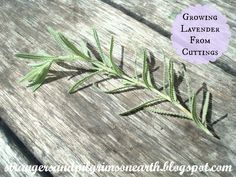 Strangers & Pilgrims on Earth: Free Lavender Plants From Cuttings Using An Existing Plant