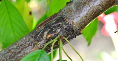 Metodă de altoire a pomilor maturi, mai puțin cunoscută (cu video)   Paradis Verde
