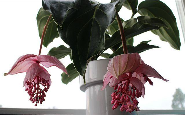 97 best medinilla images on pinterest plants blossoms. Black Bedroom Furniture Sets. Home Design Ideas