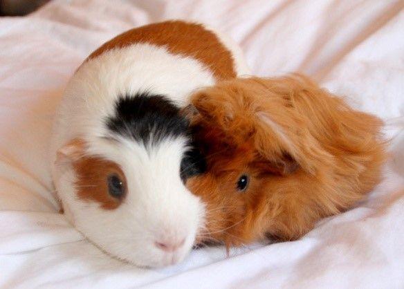 ❤ Jolis cochons d'Inde ❤ 1 Tricolore et 1 roux Angora