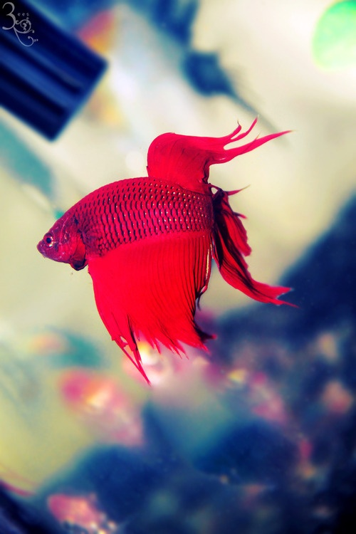 17 best images about pacu piranha japanese beta for Japanese fighter fish