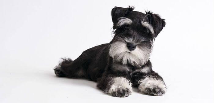 Es un perro muy inteligente, feliz, juguetón y enérgico. Hoy conocemos un poco mejor al Schnauzer miniatura ;)