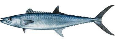 King Mackerel | Locals Seafood
