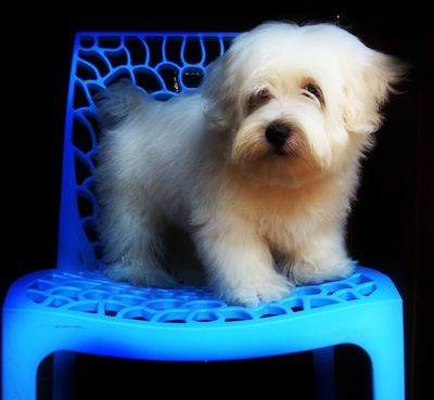 Lhasa Apso Information and Information, Lhasa Apsos ... wow this could be my little white friend!
