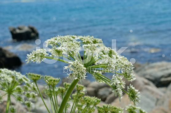 Kvanne  Blooming angelica royalty-free stock photo