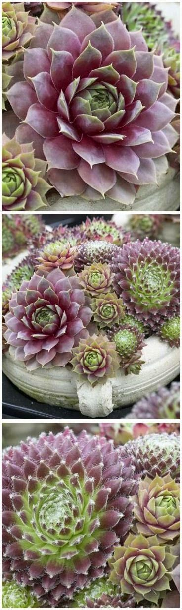 Hens & Chicks - Sempervivums.  Each rosette is like an everlasting flower, and so many varieties to choose from.