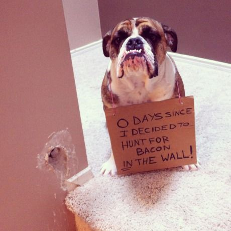 """0 days since I decided to hunt for bacon IN THE WALL!""  ~ Dog Shaming shame - Bull Dog"