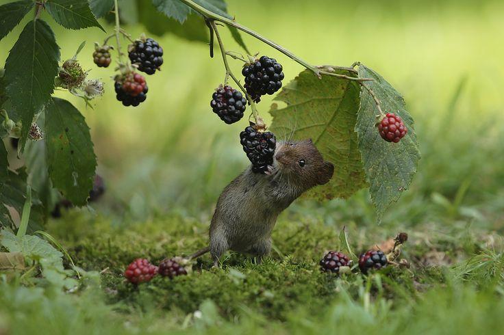 Hallo..berries!