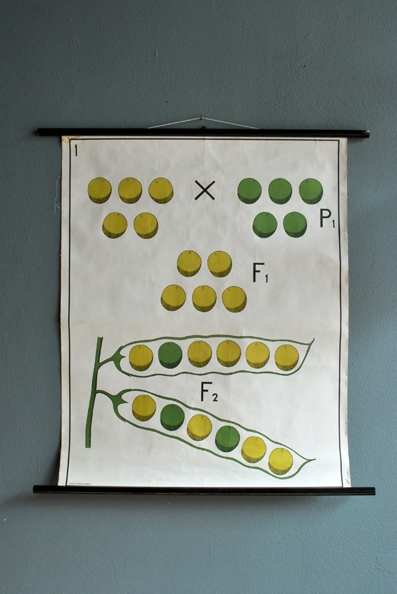 mendel: Picture-Black Posters, Demonstrations Posters, Genetics Demonstrations, Demonstrations Charts, Demonstration Posters, Science Charts, Vintage Genetics, Peas, Hanging Posters