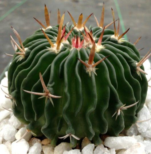 Stenocactus  multicostatus zacatecasensis 'Brain wave cactus'