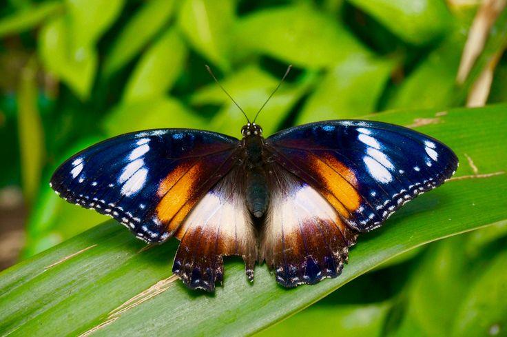 Le sanctuaire des papillons à Kuranda, Australie / Australian Butterfly Sanctuary