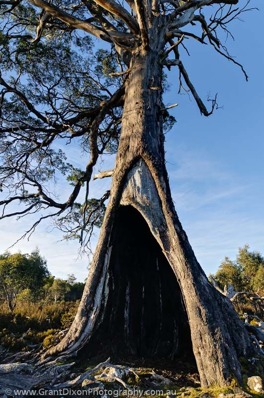 AUSTRALIA, Tasmania, Central Plateau. Hollow tree, Skullbone Plains. TLC land.