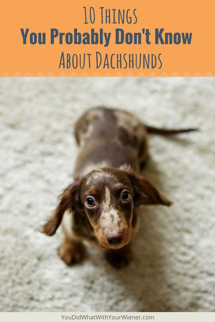 10 Things You Probably Don T Know About Dachshunds Dachshund
