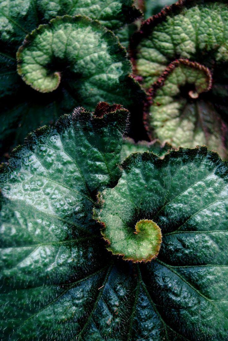 Rex #Begonia #green leaves: whimsical #Fibonacci series in nature...