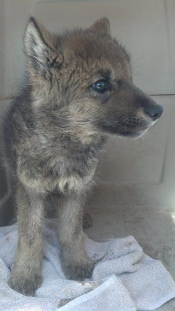 Rescued Idaho puppy turns out to be a wolf