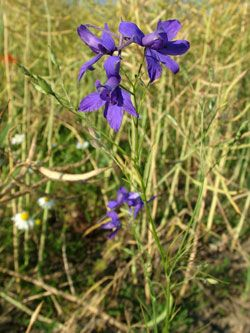 ostrožka stračka - Consolida regalis | Květena České republiky - plané rostliny…