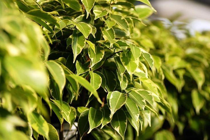 Limoviikuna (Ficus benjamina)