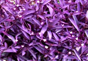 """""""Purple Heart"""" plant.  So easy to grow!  Comes back year after year.  You can easily divide this plant by pinching off a clipping where it forms a """"V"""" and transplant in rich soil.  Makes a beautiful border!"""