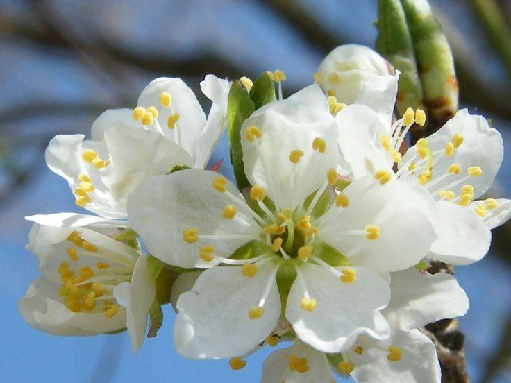 #Apfelblütenknospen-Öl bei Migräne Migräne und auch sehr starke Kopfschmerzen kann uns alle betreffen. Deshalb möchte ich heute ein Öl aus Apfelblütenknospen, nach Hildegard von Bingen, für euch aufschreiben. Dieses Apfelblütenknospen-Öl wird vorm dem Schlafengehen leicht und sanft auf die Schläfen einmassiert. 50 ml Speise – oder Olivenöl 10 g Apfelblütenknospen Die Apfelblütenknospen übergiesst ihr mit dem Öl und […]