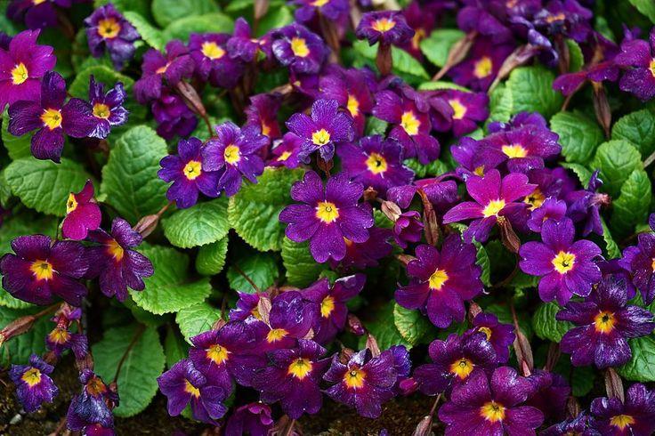 Praktfull Primula ger vacker kontrast i trädgården.