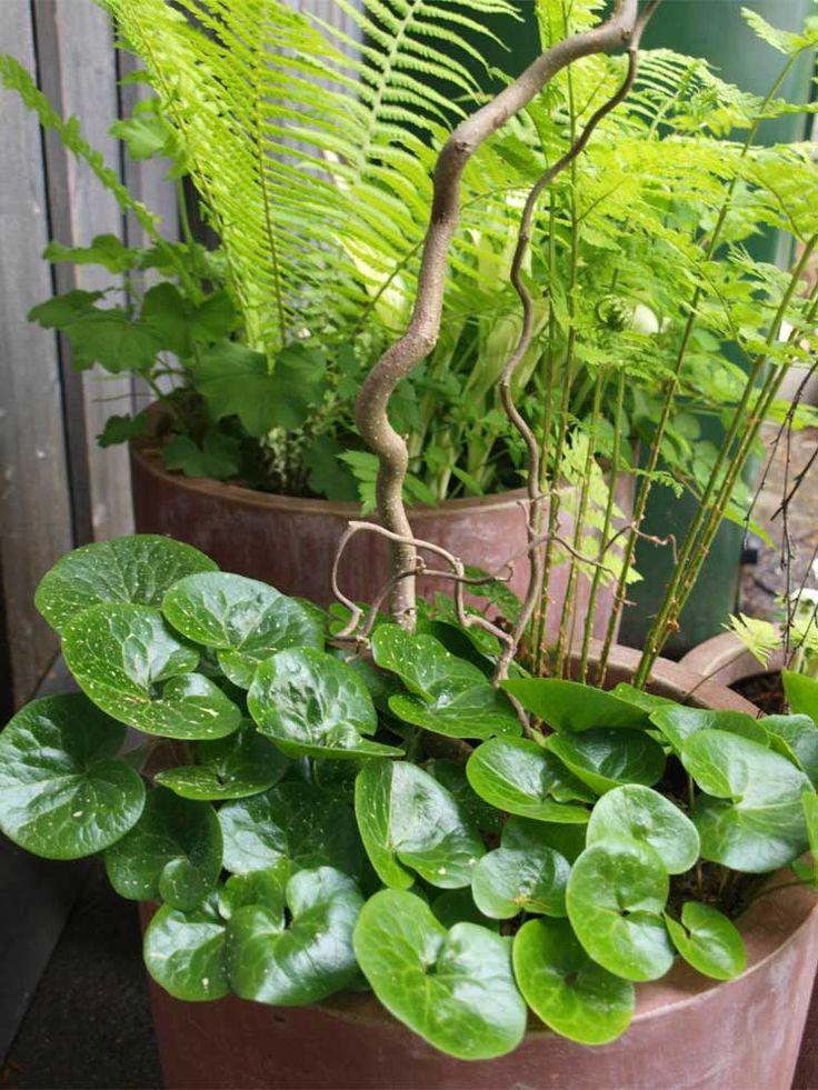 hasselurt-asarum er en skogplante,Liker skyyggefulle forholdtil de friske grønne bladene. Plassering-halvskygge til skygge.Humusrik jord. Kant og dekkplante.Blomstrer i Mai.Staude.