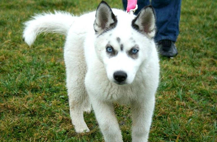 Siberian Husky Red Wolf Mix MagiStream View Topic Pawprints In The Snow Sled Dog RPNew