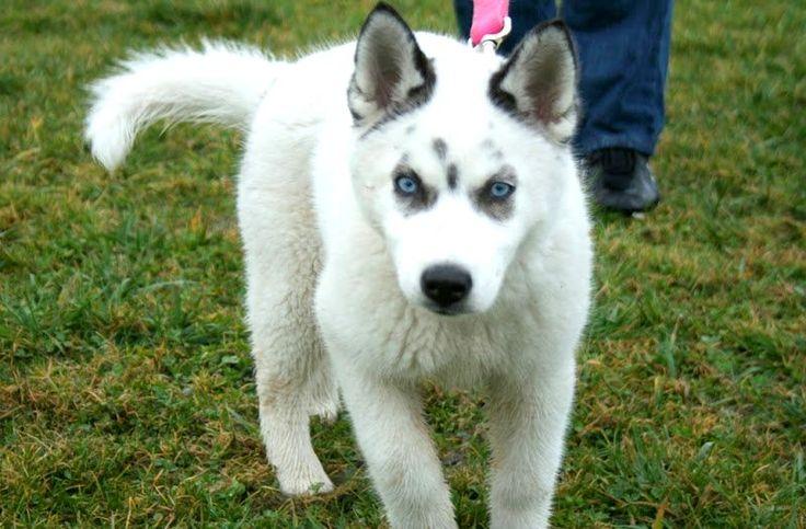 best 25  husky wolf mix ideas on pinterest