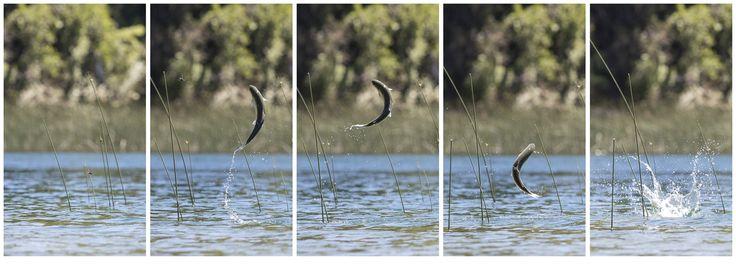 Dragonfly Miss Arcoiris Trout, Lacar Lake, San Martín de los Andes. Canon EOS 5D Mark III Lens EF 70-200mm f/2.8L IS II USM @ 175mm 1/3200 seg f/5.0 ISO 1600