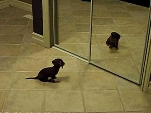 Mini Dachshund Puppy Vs. Mirror by steva44 #Dachshund #Mirror #steva44