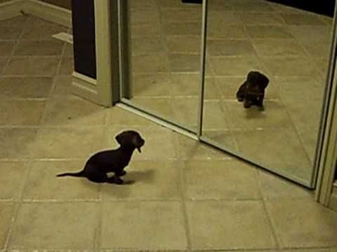 This dachshund puppy is astonished to find that his new friend in the mirror (him!!) copies everything he does! Sooooo cute!
