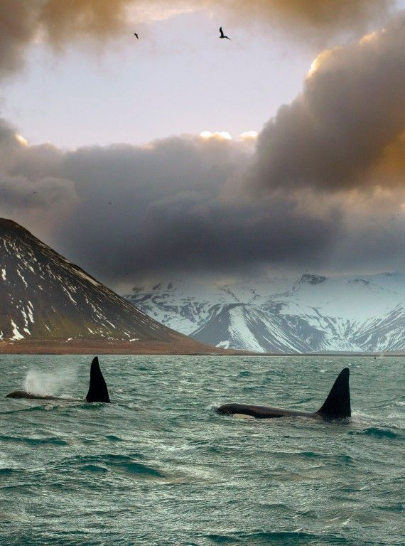 Orcas in Iceland. Woman and Home say March is a great month to visit. True but in fact any time of the year is great!