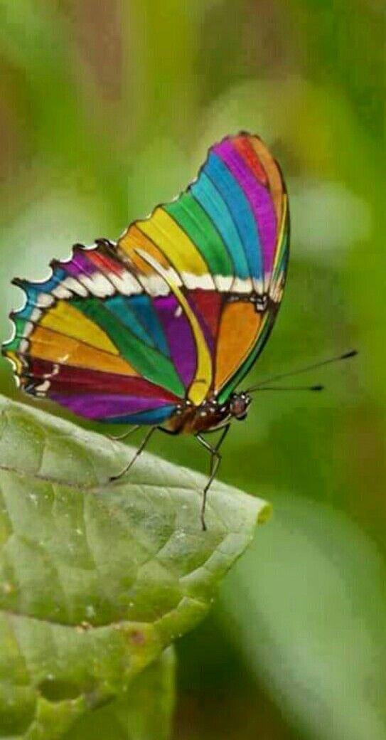 One of the most beautiful of butterflies.