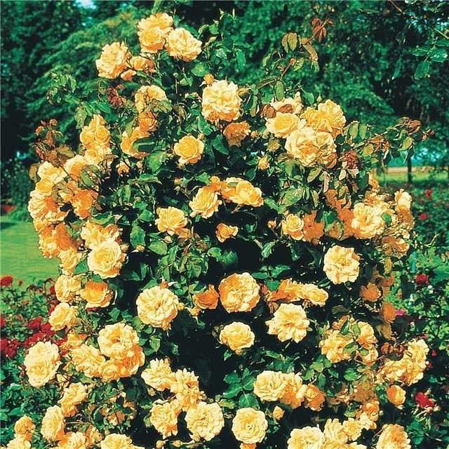 ВЫРАЩИВАНИЕ ПЛЕТИСТЫХ РОЗ.  Особое восхищение у садоводов всегда вызывала плетистая роза с ее длинными ветвями, усыпанными роскошными цветками. Это настоящая находка для ландшафтного дизайнера, которая позволяет создавать цветущие арки, колонны, беседки, заборы. Несмотря на огромные плети, достигающие 5-6 м в длину, все разновидности плетистых роз являются кустарниками. Можно было бы подумать, что в этом случае, посадка и уход за ними аналогичен другим видам роз, однако все не так просто…