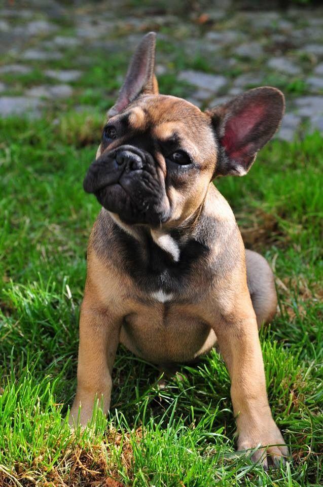 French Bulldog Puppy Französische bulldoggenbabys
