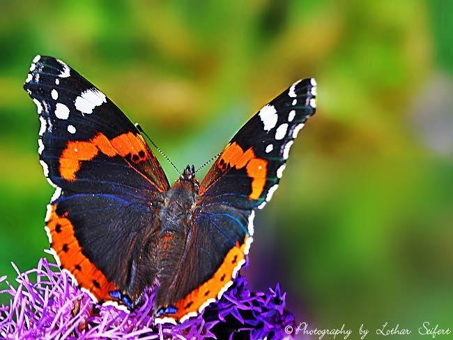 Der Admiral, der Schmetterling saugt an Blüten und an Fallobst. Fotografie von Lothar Seifert