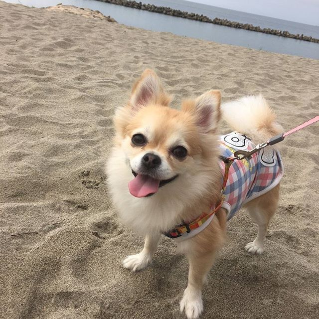 Good morning😊 Had the pleasure to walk by this summer beach✨ #pomchi#pomeranian#chihuahua#dog#mydog#instadog#instadogs#petstagram#pomchisofinstagram#lovepomchi#ilovepomchi#mixdog#lovedog#doglover#doglove#lovemydog#ilovemydog#dogstagram#mypet#ポメチワ#チワポメ#4歳#愛犬#インスタドッグ#ポメラニアン#チワワ#ミックス犬#奇瓦瓦#博美犬