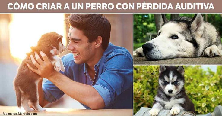 La conductista y entrenadora Lara Joseph les muestra a las personas a comunicarse con sus mascotas sordas y ayudarlas a llevar una vida plena, feliz y saludable. http://mascotas.mercola.com/sitios/mascotas/archivo/2017/10/22/perdida-de-audicion-en-mascotas.aspx?utm_source=mascotas&utm_medium=email&utm_content=art1&utm_campaign=20171022&et_cid=DM163474&et_rid=92959315