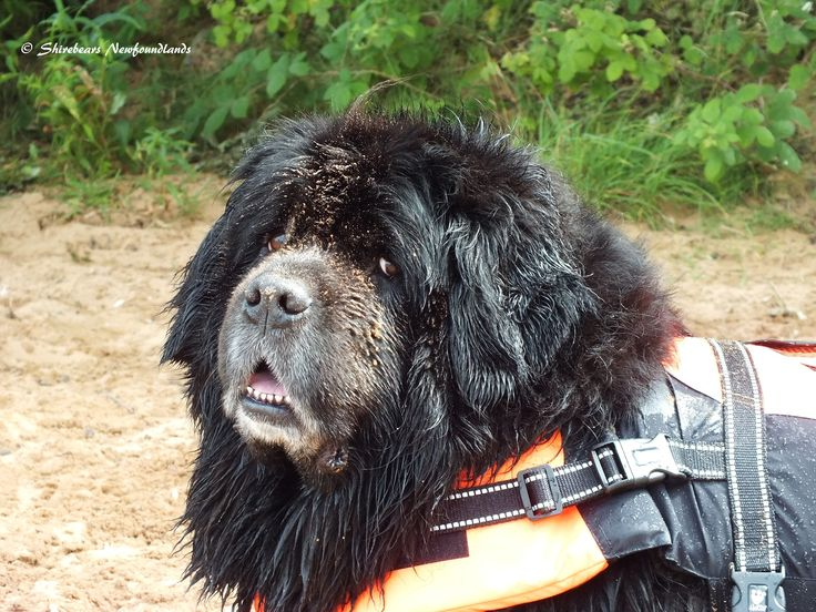 199 best images about newfoundland dogs newfies newfs gentle giants whole lotta love on. Black Bedroom Furniture Sets. Home Design Ideas