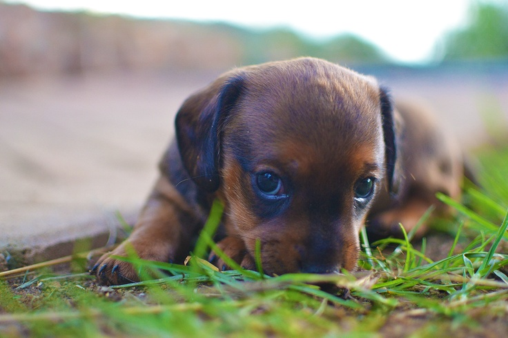Puppy, Newcastle, South Africa