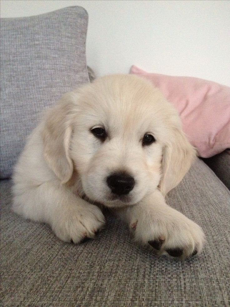 Our lovely golden retriever puppy, Molly W