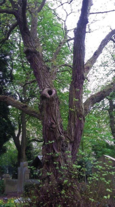 alter Baum, Melaten - Foto: S. Hopp