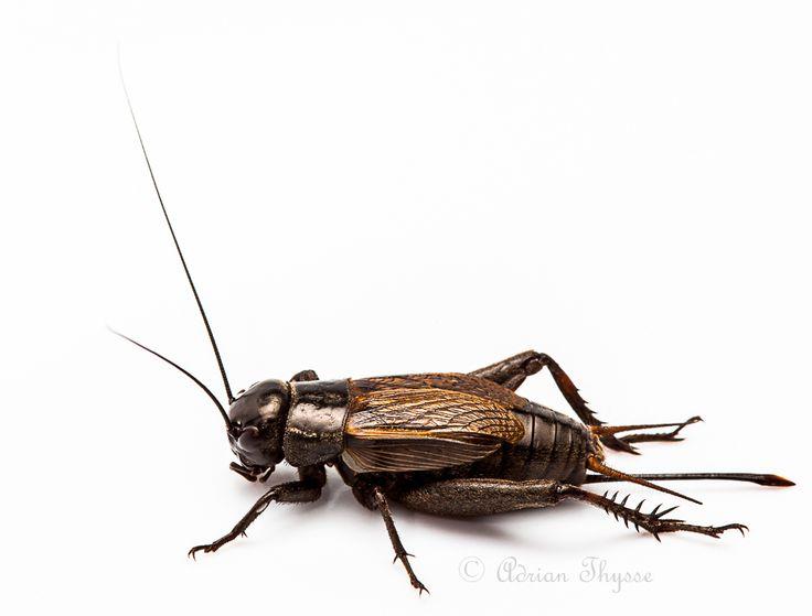 Grasshoppers, Crickets, Katydids (Orthoptera) » Long-horned Orthoptera (Ensifera) » Crickets (Gryllidea) » True Crickets (Gryllidae) » Field Crickets (Gryllinae) » Field Crickets (Gryllus)