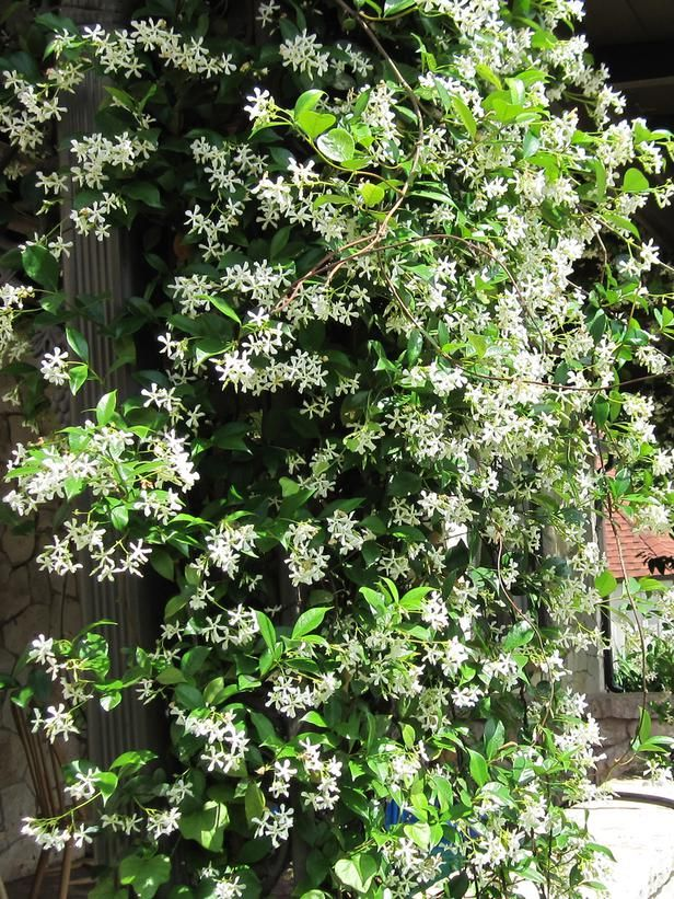 Flowering Jasmine. From an HGTV article on fragrant climbing plants.