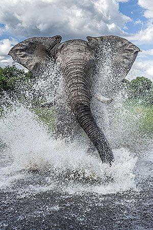 ~~African Bush Elephant by Ben Cranke~~