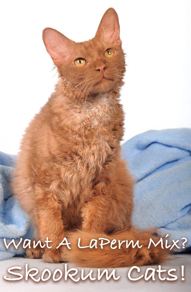 LaPerm Munchkin Cat Mix ist eine neue Kreuzung, die jetzt als Skookum Cat bekannt ist   – Cats