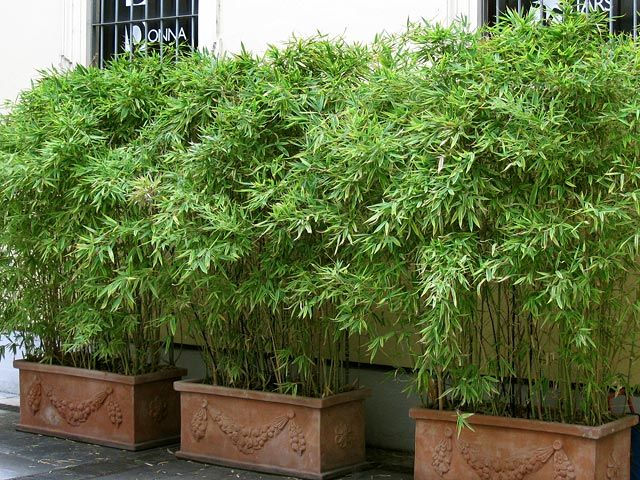 This is the way to have bamboo!!! Easily moved.. And it won't propagate radically all over the yard.. Tho, big potted plants usually need some extra watering.