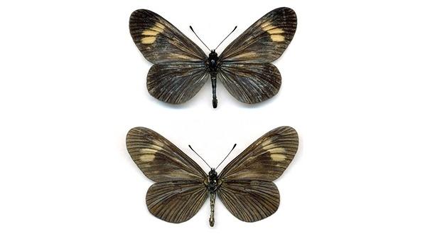 Mariposa del bosque Atlántico (Brasil)