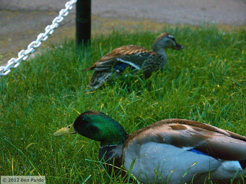 Duck Family.    These guys are sometimes my neighbors.  I found them in front of my casa down the block.