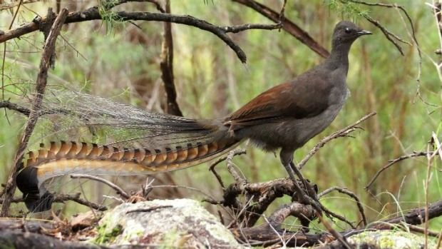 Lyrebird - lives in: the forests of south-eastern Australia, from southern Victoria to south-eastern Queensland. eats: insects, spiders, worms, occasionally seeds, small invertebrates, crustaceans, myriapods and snails. height: ? least concern.